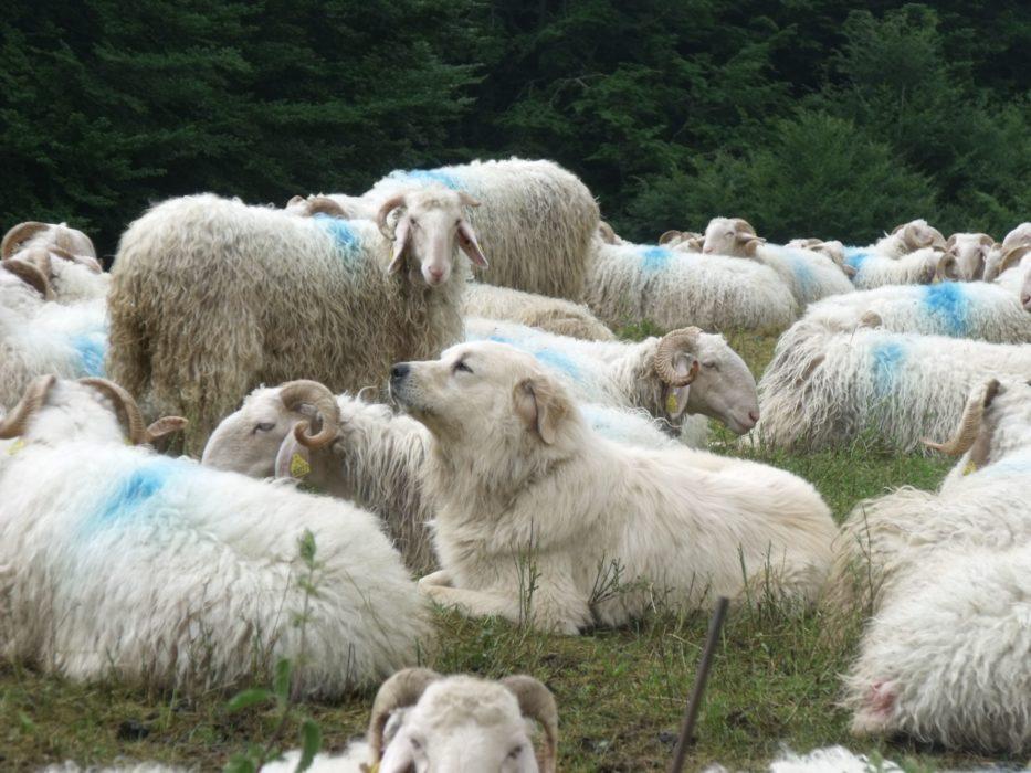 Patou Sheep Dog Guarding Flock Of Sheep  Gr10