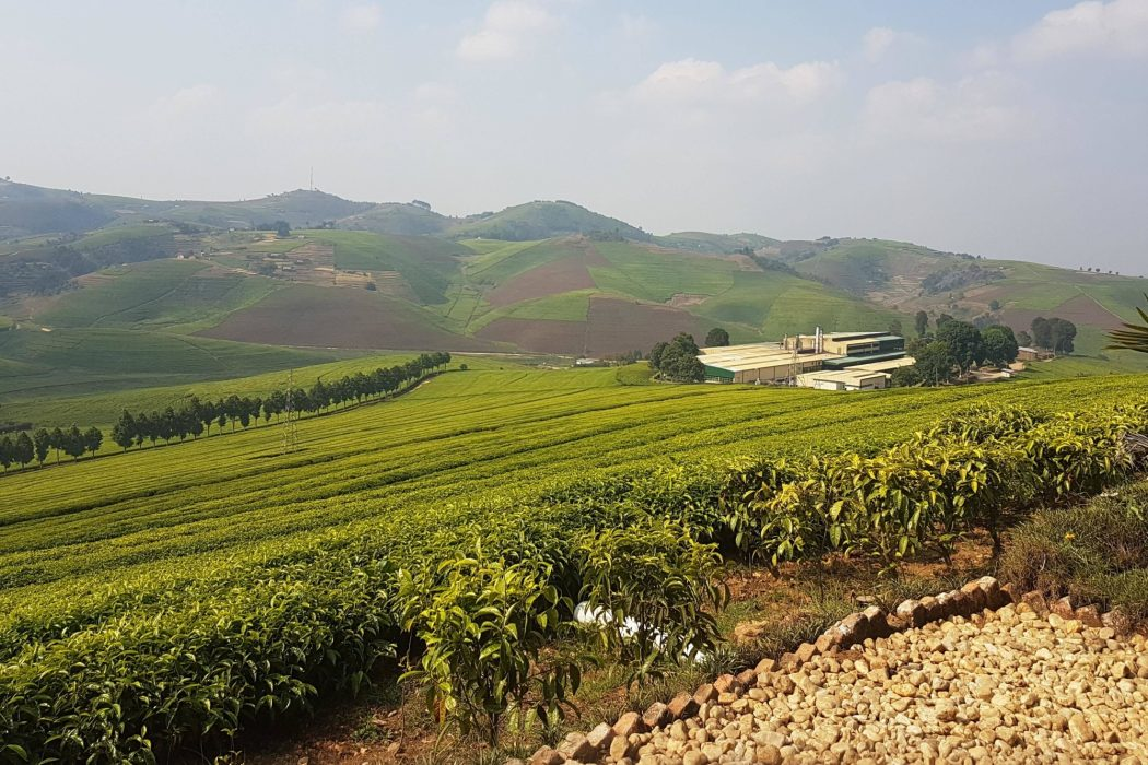 Gisuvu  Tea  Plantation In  Rwanda