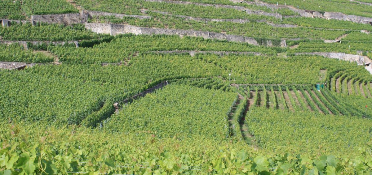 Swiss Vineyards