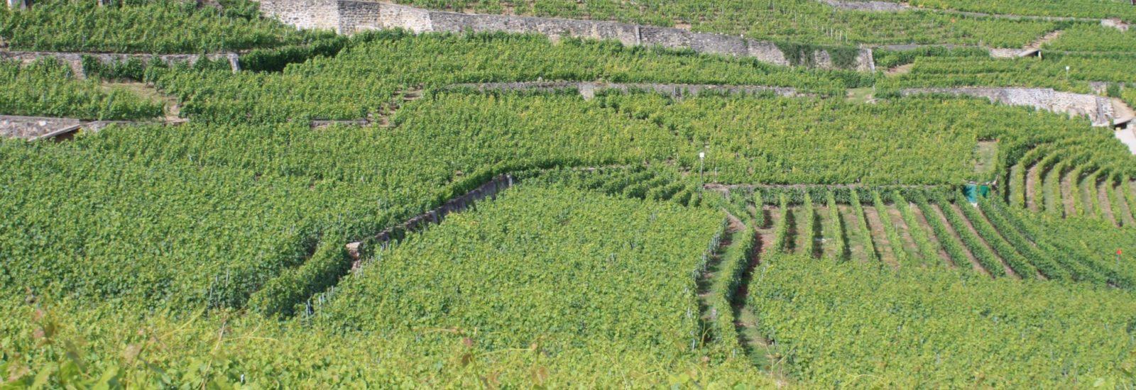 Swiss Vineyards