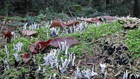 A Colony Of Coral Mushrooms Poking Through The Moss On  Germanys  Westweg