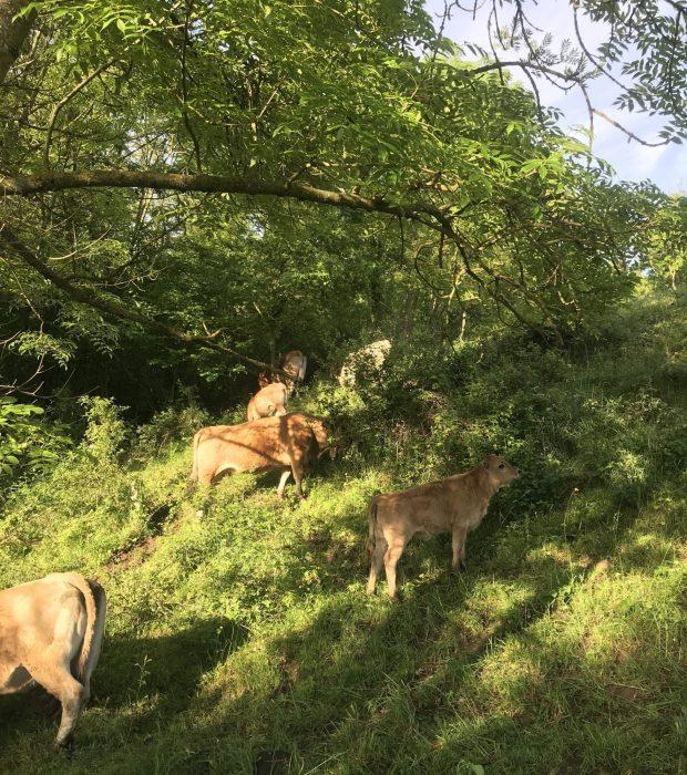 Cows enjoying the woodland near Fuilla