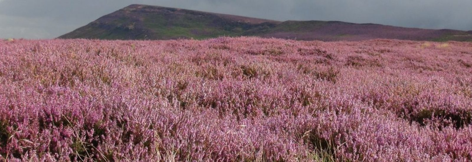 Heather Moorland In Autumn
