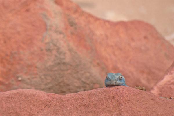 Blue Sinai Lizard Petra