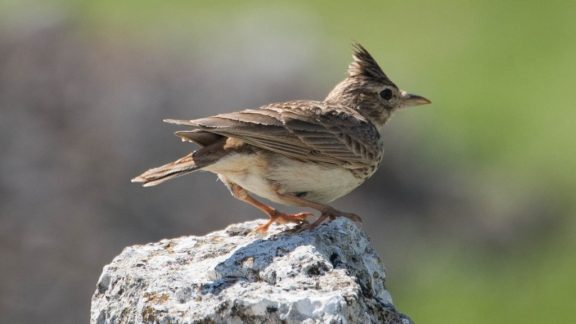 Crested Lark By Richard Cash Of Alto Aragon