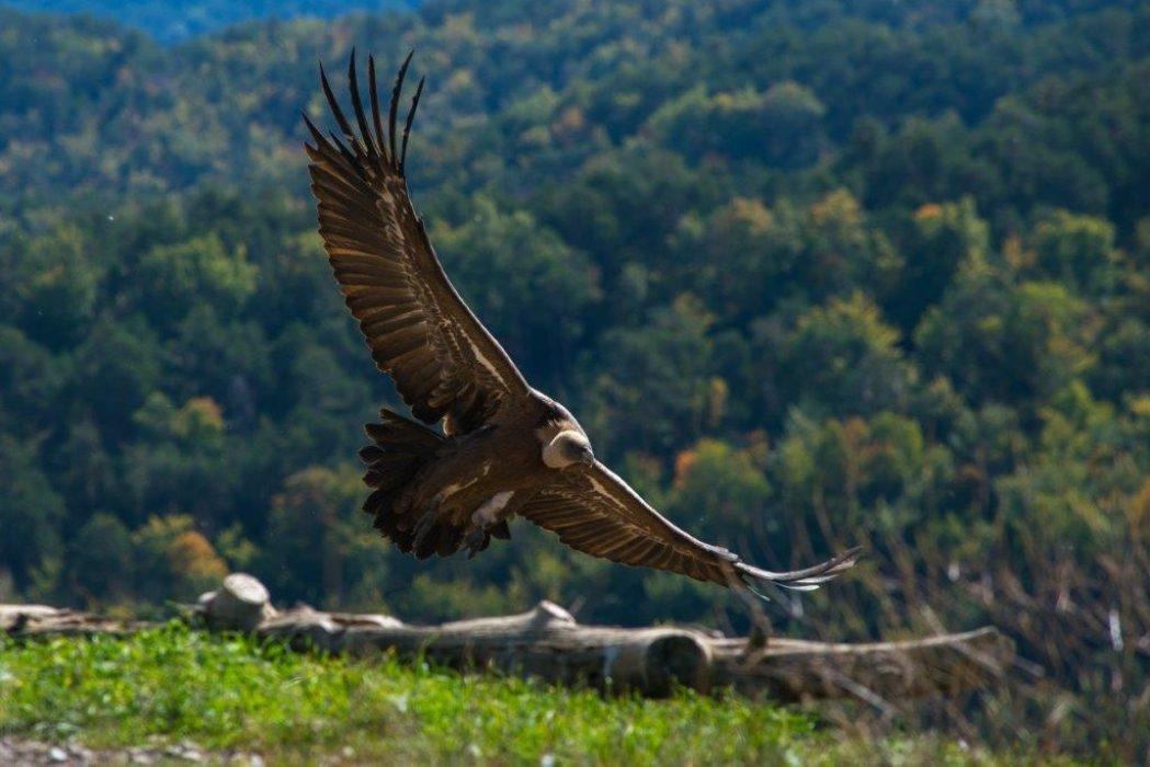 Griffon Vulture By Richard Cash Of Alto Aragon