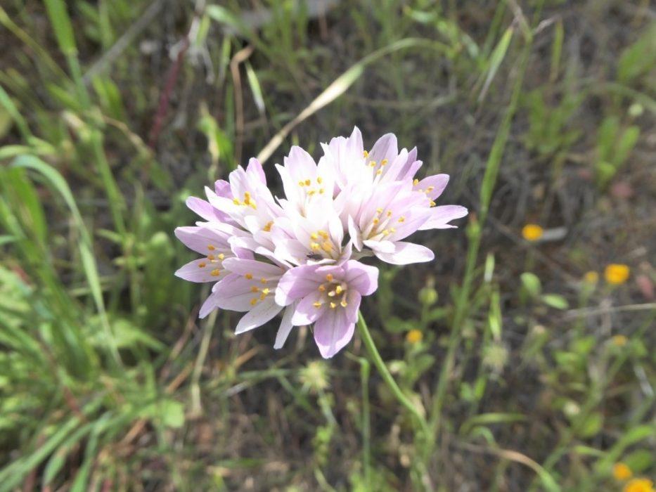Rosy Garlic Allium Rosium