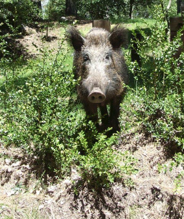 Roberto The Wild Boar