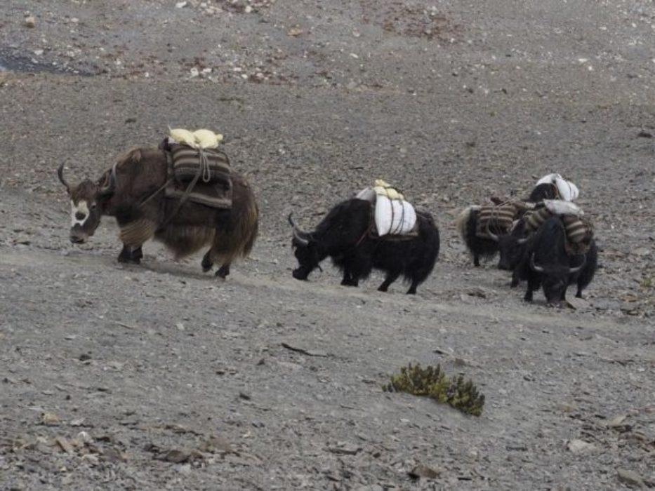 A Laden Yak Caravan Crossing The Mo La Pass 2