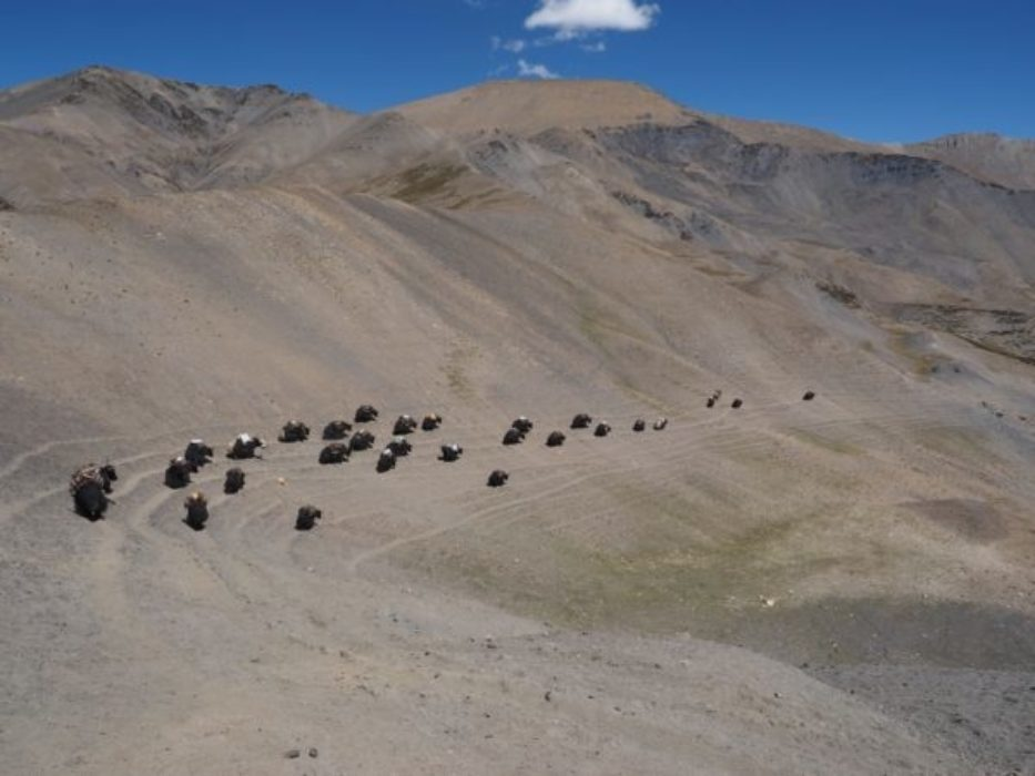 A Laden Yak Caravan Crossing The Mo La Pass