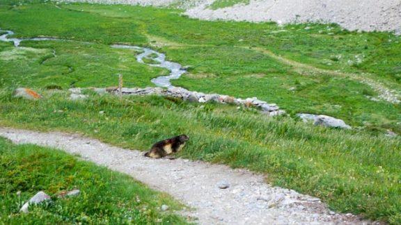 Fat little marmot number 1