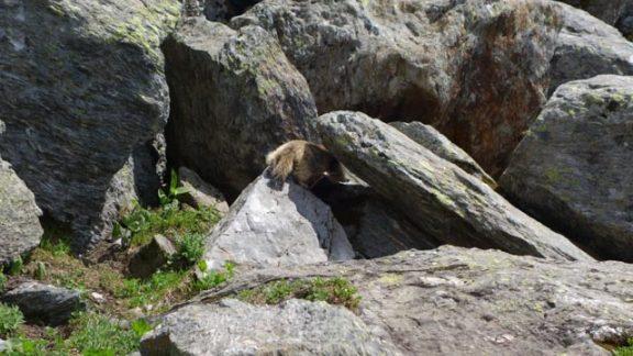 Fat little marmot number 2