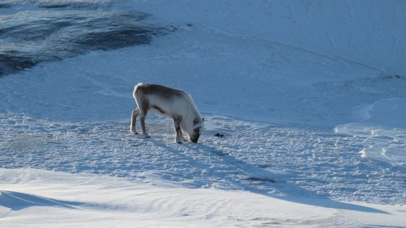 This can hardly be called 'grazing'… Reindeer must scrape off snow and ice with their hooves