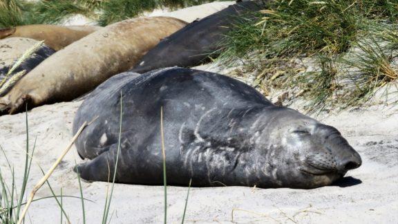 Elephant Seal On Sea Lion Island