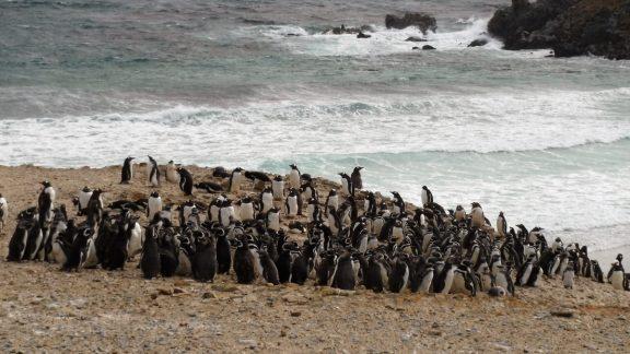 Magellanic Penguin Colony On Pebble Island