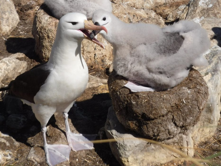 Black Browed Albatross Have One Chick Per Year
