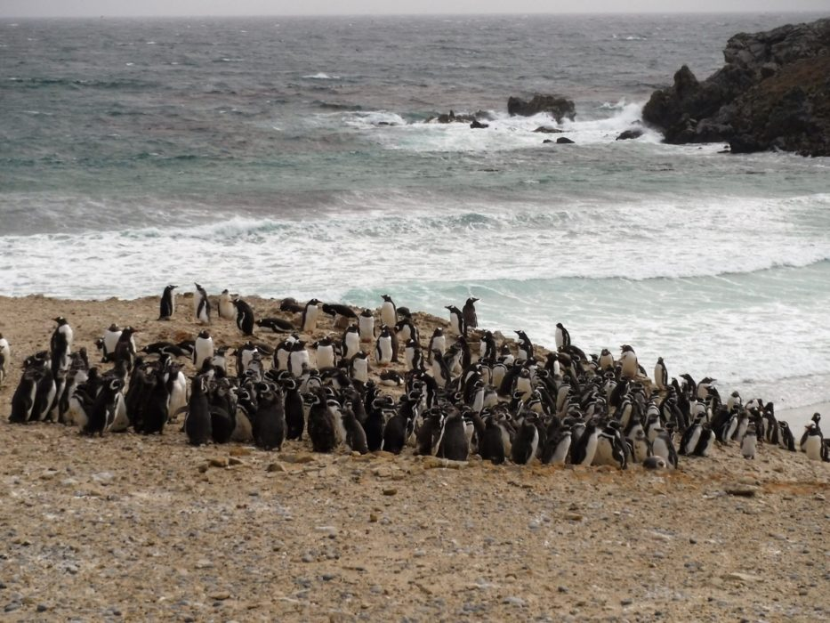 Magellanic Penguin Colony On Pebble Island