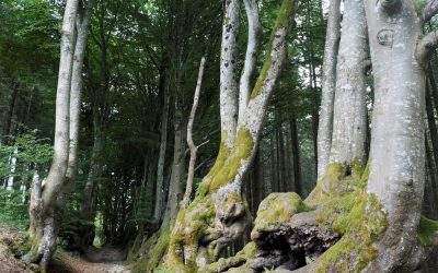 An Avenue Of Tortuous Beeches Lining The Sorcerers Way 2