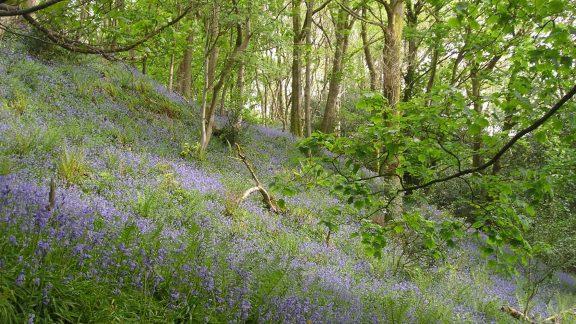 15 Bluebells In Flass Wood Near Penny Bridge
