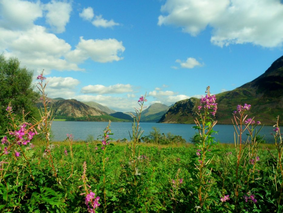 08 Rosebay Willowherb Flowers At Ennerdale