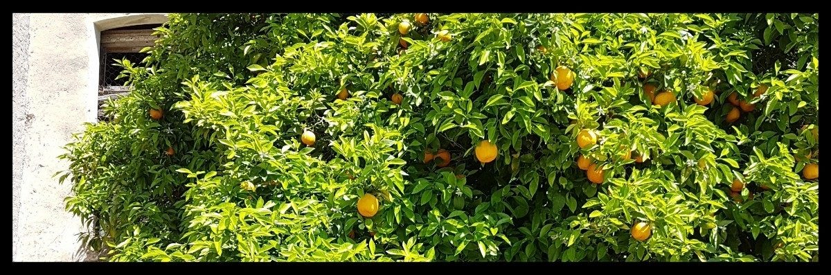 Day 2 Orange Trees At Llampaies