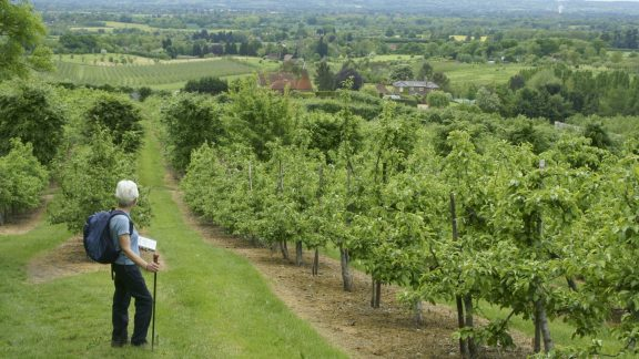 Orchard Country Above Yalding In The Greensand Hills