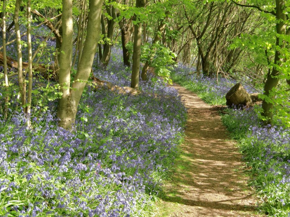 Many Walks Lead Through Bluebell Woods