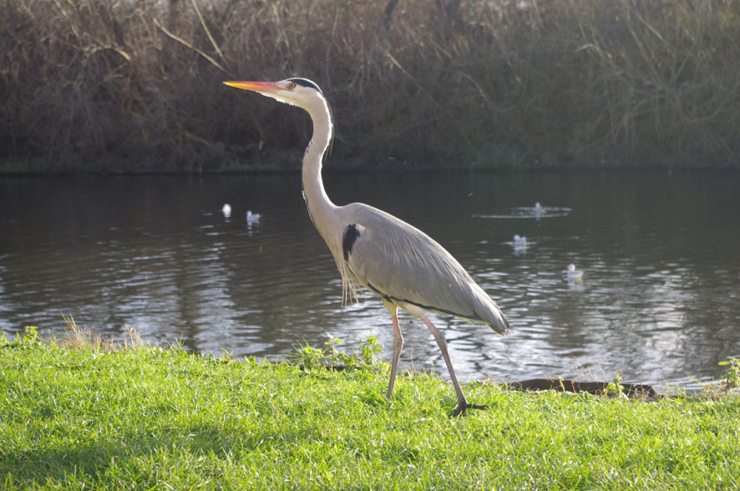 You Could Spy A Heron On Almost Any London River
