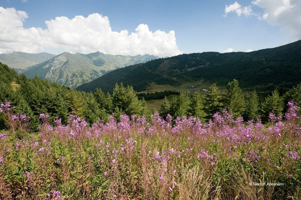 Peaks Of The Balkans  Wildflowers Between Ceremi And Doberdol Albania  Rudolf Abraham