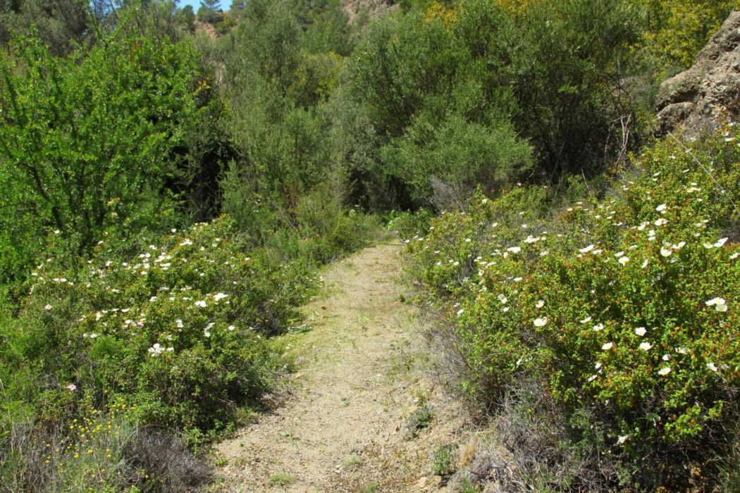 Rock Roses Lined Path