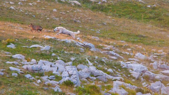 Some wolves try to get close to the point where the sheep was killed, but twice the Sheepdog manages to send them away